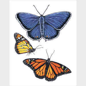 Eastern Blue & Monarch Butterfly