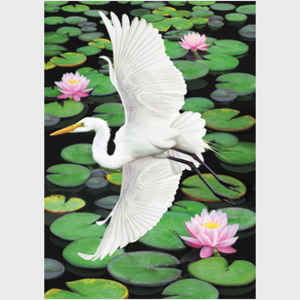 Egret Flying over Pond with Water Lilies