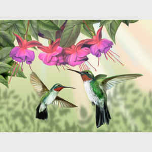 Fuchsia and Hummingbirds - horizontal