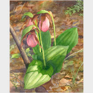 Lady Slipper Excellence