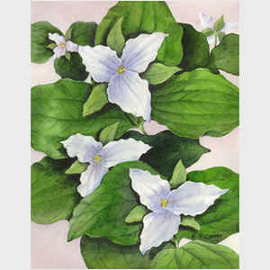 Large Flowered White Trillium