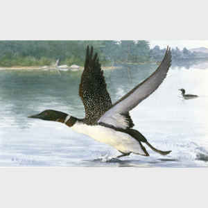 Loon Take-Off
