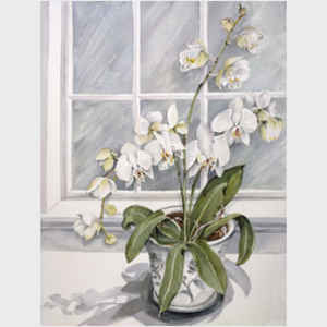 Phalaenopsis by the Window