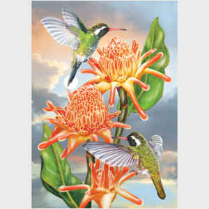 White Eared Hummingbirds with Torch Ginger