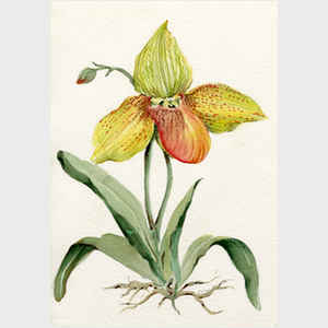 Yellow Paphiopedilum